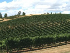 vineyard_sub_THV_East2